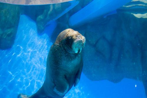這頭海象一直在海中翻著筋斗一邊這樣chok 著高速巡航...