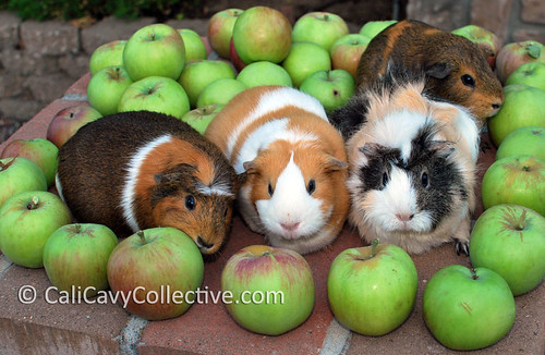 Guinea pigs eating apples
