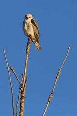 Morning Kite