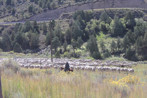 IMG_2342_Sheep_Herder_Between_Provo_&_Moab