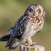 Short-eared Owl (Asio flammeus) by Tom Dean.