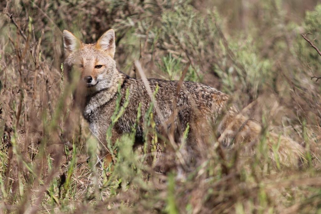 Graxaim ou Sorro (Pseudalopex gymnocercus); Pampas Fox, em Palmas, Paraná