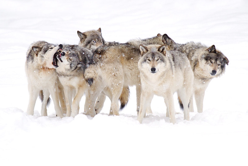 Dysfunctional Family  - Canadian Timber Wolf