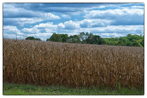 Grass - Corn - Trees - Sky - Derwood, MD