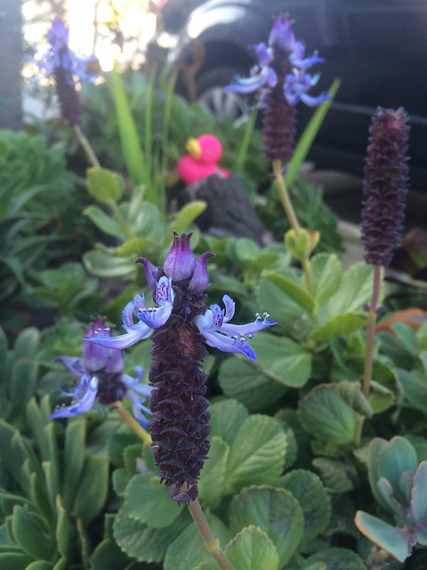 Blue flowers, Castro