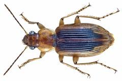 Loxoncus alacer (Dejean, 1831)