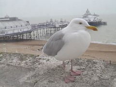 View of seagull perched on hotel window sill with Eastbourne Pier in the background
