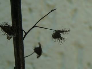Minha pequena Drosera tuberosa 11874169586_c592a7bb23_n