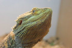 iguania(0.0), green lizard(0.0), african chameleon(0.0), lacerta(0.0), dactyloidae(0.0), iguana(0.0), wildlife(0.0), agama(1.0), animal(1.0), reptile(1.0), lizard(1.0), macro photography(1.0), green(1.0), fauna(1.0), close-up(1.0), scaled reptile(1.0),