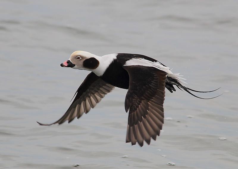 Drake Long-tailed Duck