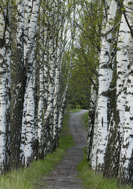 path in the birch - photo #10