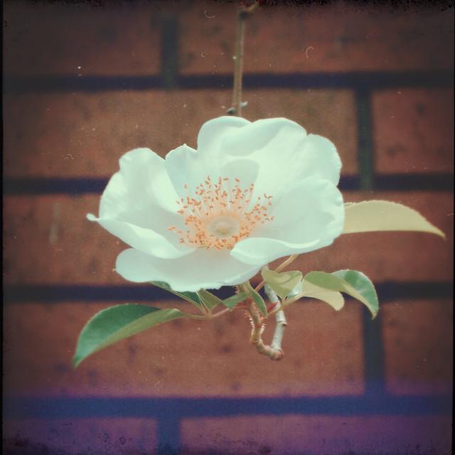 White camellia vernalis