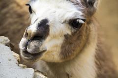 mane(0.0), mustang horse(0.0), arabian camel(0.0), animal(1.0), mammal(1.0), fauna(1.0), close-up(1.0), camel(1.0), wildlife(1.0),