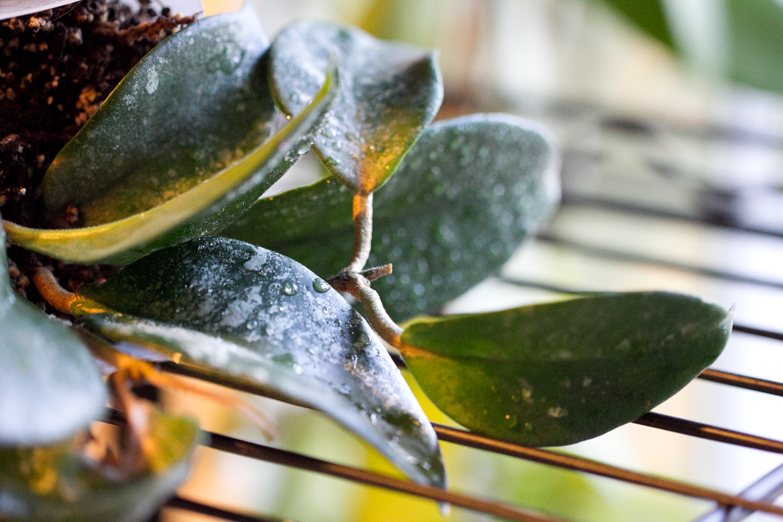 Hoya fungii seedling
