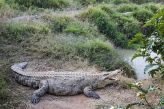 iguana(0.0), animal(1.0), crocodile(1.0), reptile(1.0), nile crocodile(1.0), fauna(1.0), american alligator(1.0), alligator(1.0), crocodilia(1.0), wildlife(1.0),