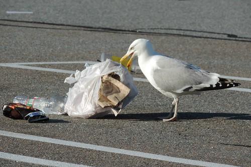 #70 Herring Gull (Larus argentatus)