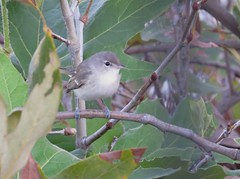 Bell's Vireo in Anaheim, CA