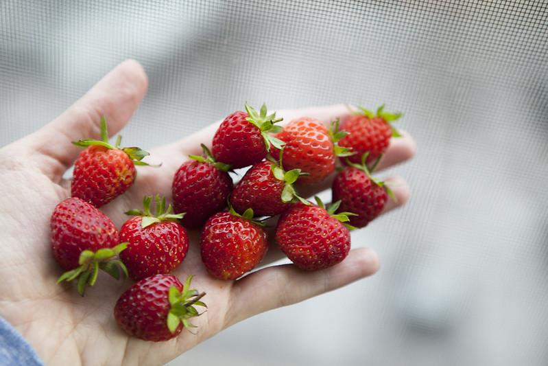 Strawberry PickingIMG_2958