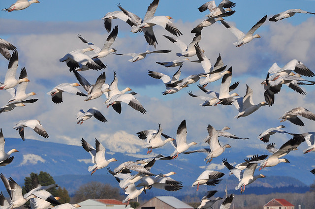 2013-01-25 Snow Geese (04) (D90 Archives)