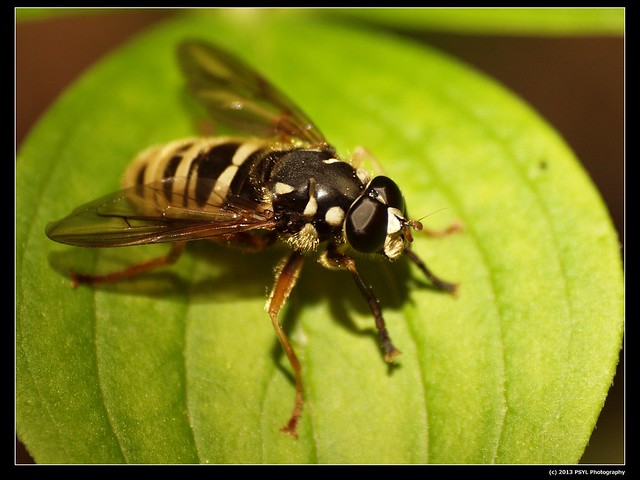 Yellowjacket-mimic fly (Temnostoma alternans)