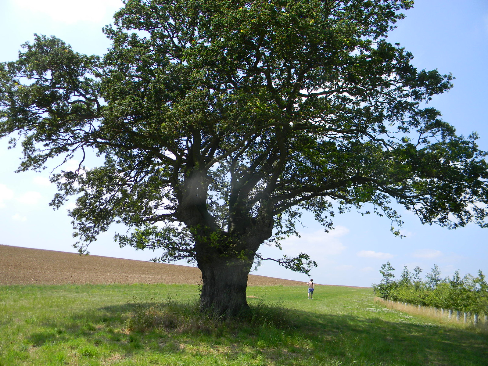 Big tree South Woodham Ferrers to North Fambridge