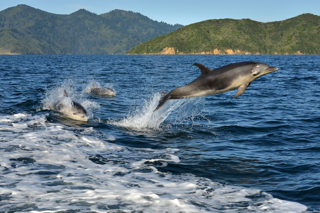 Queen Charlotte Sound-Dolphins