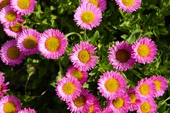 asterales, annual plant, flower, flora, petal,