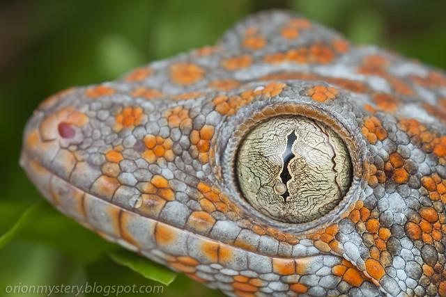 IMG_9850 copy Tokay Gecko (Gekko gecko)
