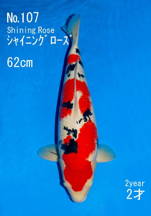 New koi auction record yen for a sakai fish for Expensive koi fish
