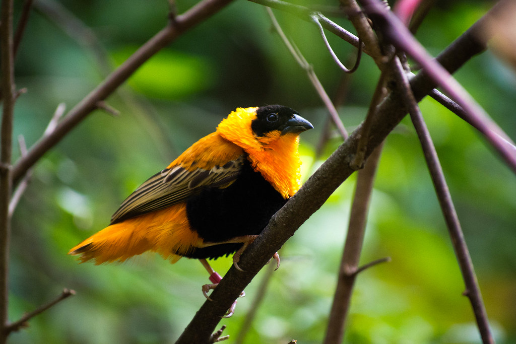 orange and black bird2