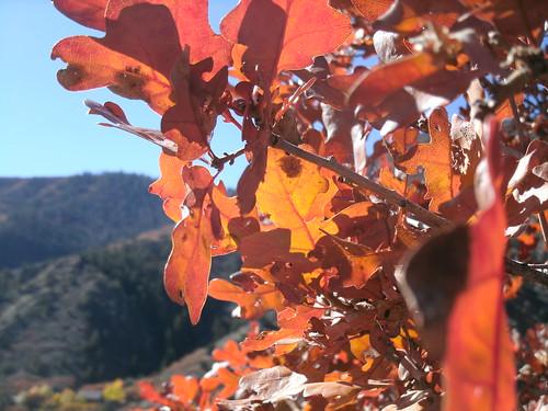 Gambel oak red, fall 2013