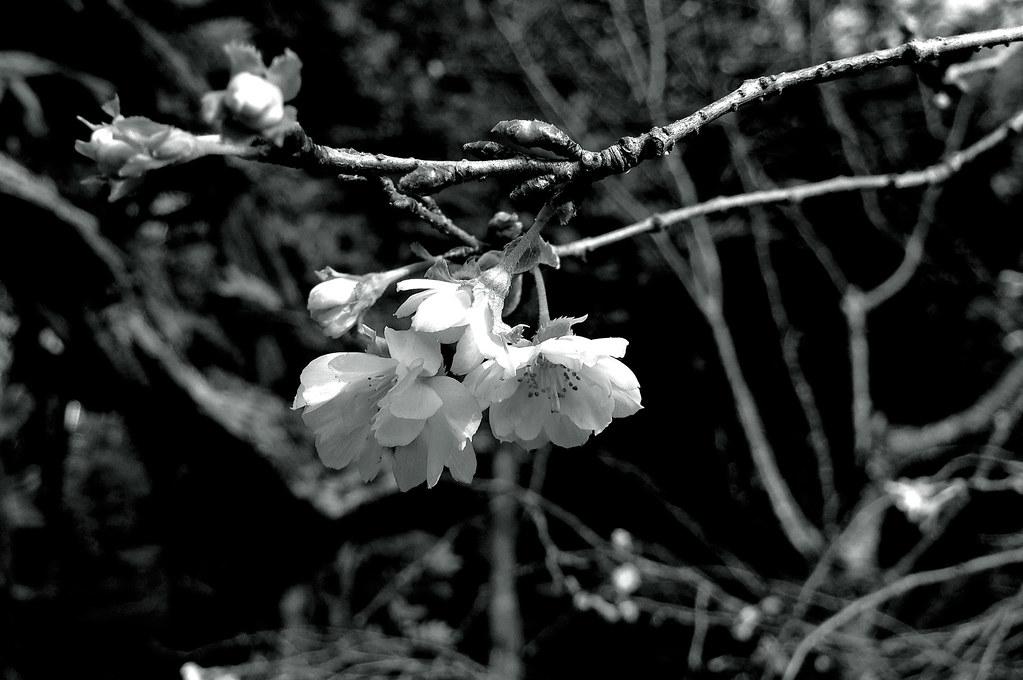 十月桜|依水園|奈良県奈良市