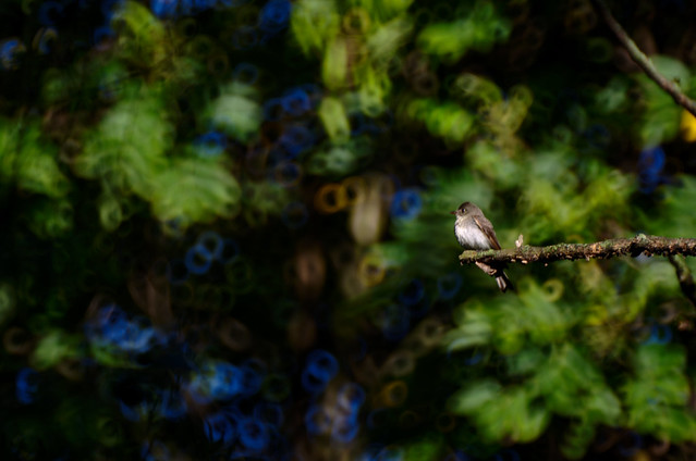Olive-sided Flycatcher I