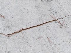 Thamnophis saurita