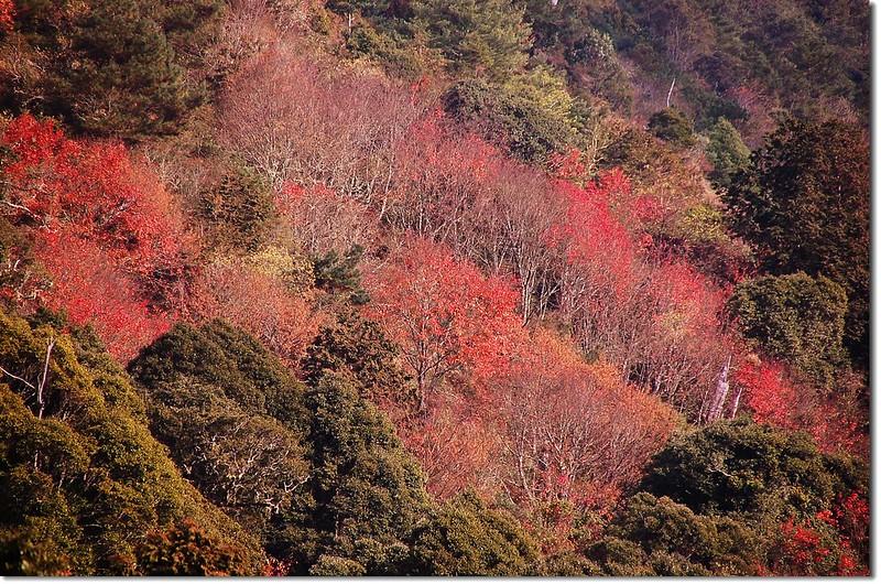 台灣紅榨槭 2