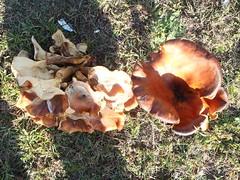 pleurotus eryngii, medicinal mushroom, oyster mushroom, mushroom, auricularia, fungus, edible mushroom,