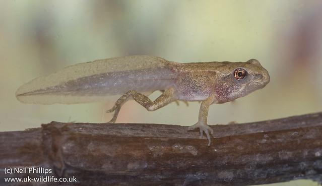 froglet-6