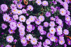 marguerite daisy(0.0), oxeye daisy(0.0), chrysanths(0.0), dorotheanthus bellidiformis(1.0), aster(1.0), annual plant(1.0), flower(1.0), plant(1.0), daisy(1.0), macro photography(1.0), wildflower(1.0), flora(1.0), daisy(1.0), petal(1.0),