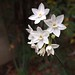 First Paperwhites 2013 (Narcissus papyraceus) - 03