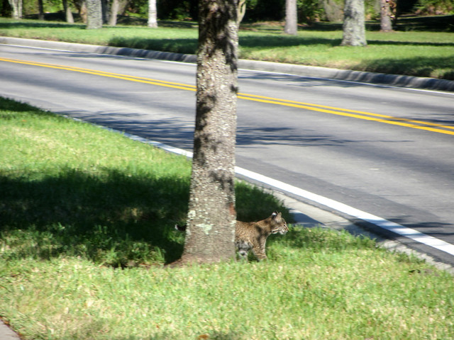 bobcat cub, gathering courage