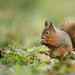 Red Squirrel - Ground work