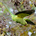 Parakeet take-off
