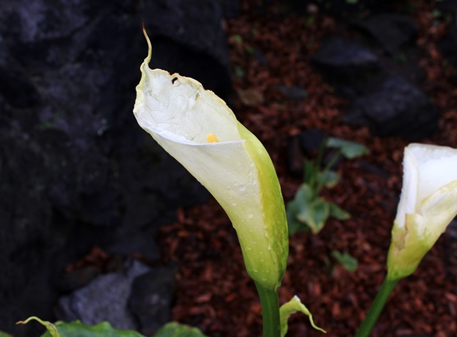 bedraggled calla lilies