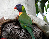 027 Rainbow Lorikeet at nest hole by Jen 64