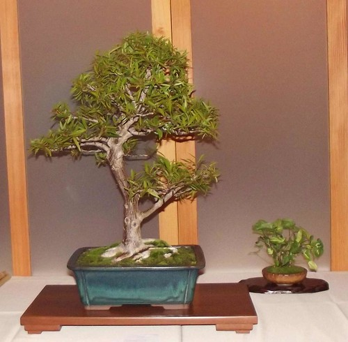 Rocio's Willow Leafed Ficus 2