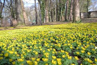 Winterlinge im Schlosspark Ostrau bei Halle Saale