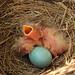 Robin's nest photo diary, #3 by speech path girl