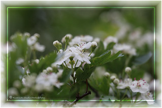Hawthorn Blossom (Second photo in first comment box)