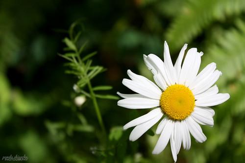 Daisy by Pamela Shigeoka