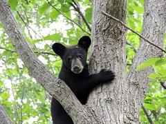 Bear Cubs 2015
